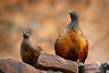 Painted Spurfowl, India shutterstock_707080726.jpg