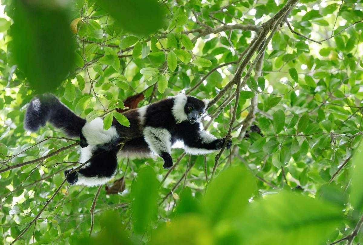 Black And White Ruffed Lemur, Madagascar Shutterstock 567892270