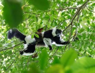 Madagascar's Lemurs
