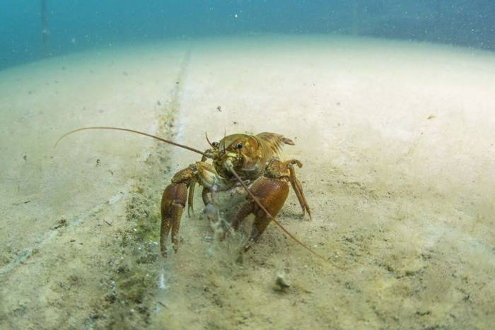White-clawed Crayfish, Dosthill Quarry