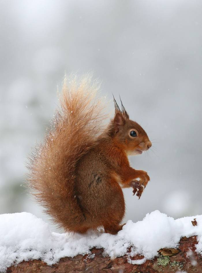 Red Squirrel (Jenny Thynne)