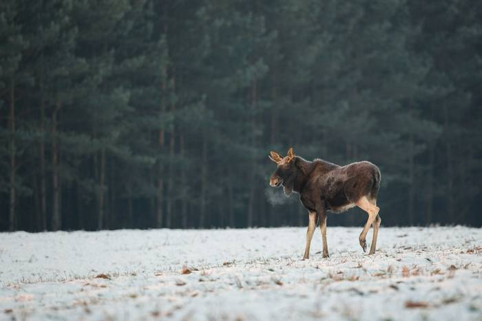 Moose, Poland Shutterstock 744208360