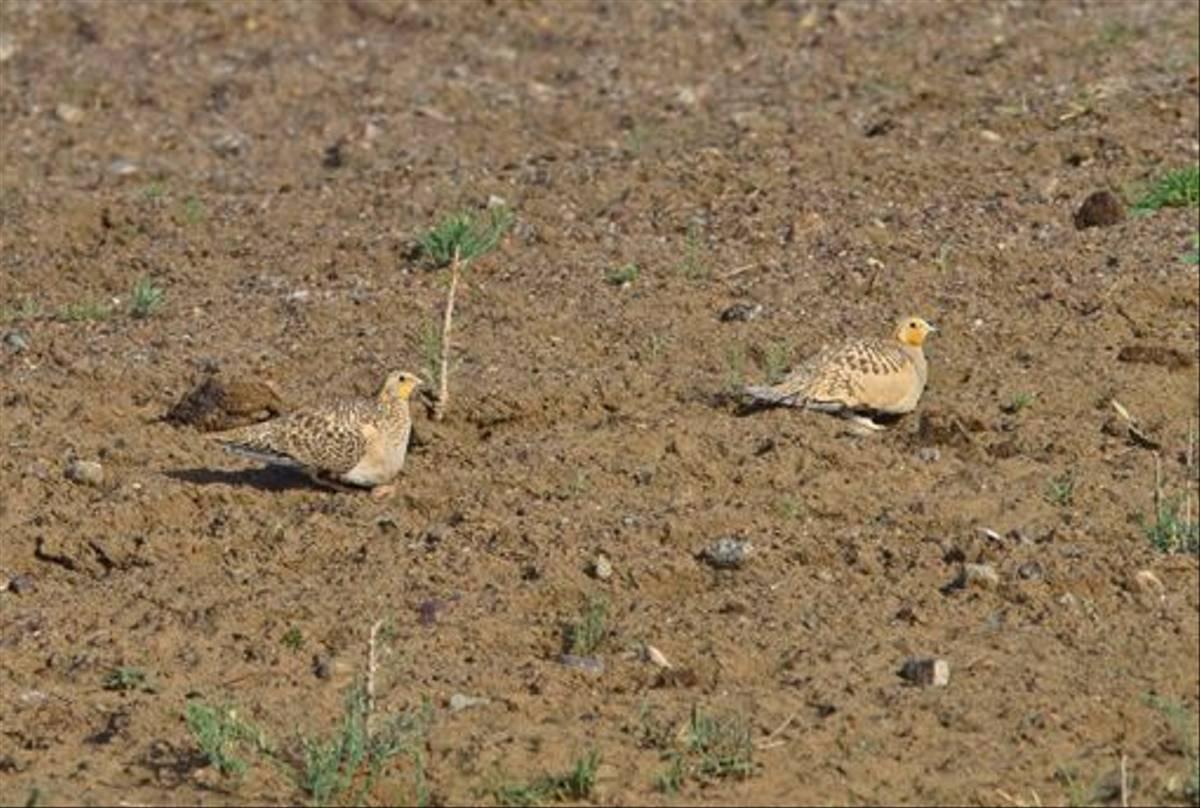 Pallas's Sandgrouse (Alan Curry)