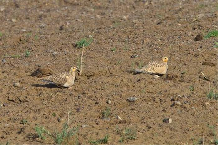 Pallas's Sandgrouse (Alan Curry)
