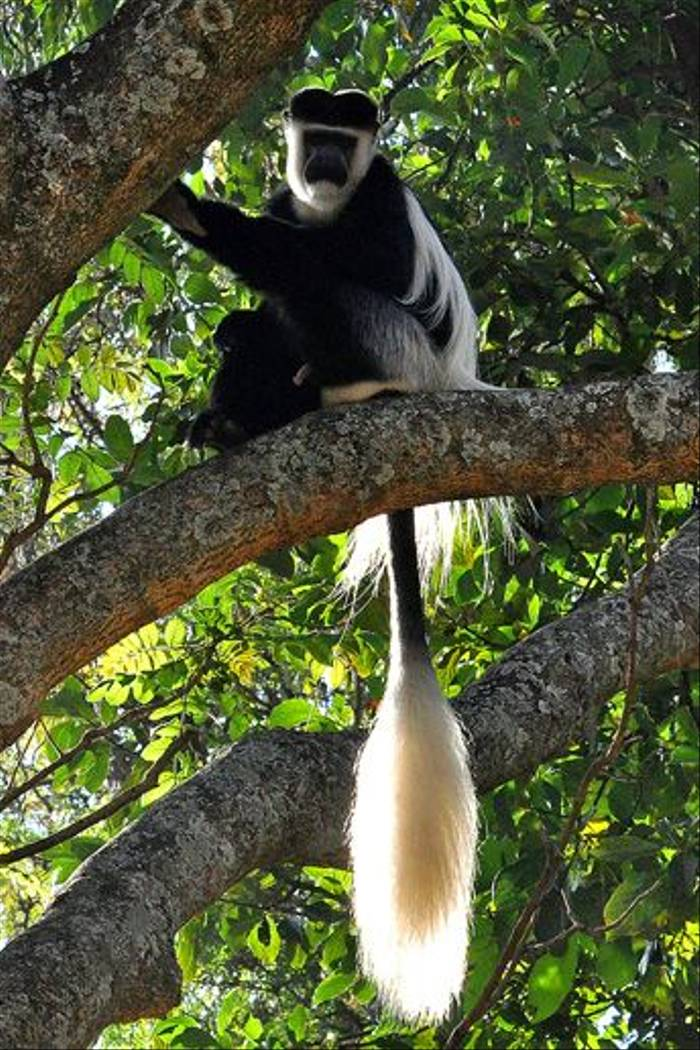 Male Colobus Monkey (Tim Melling)