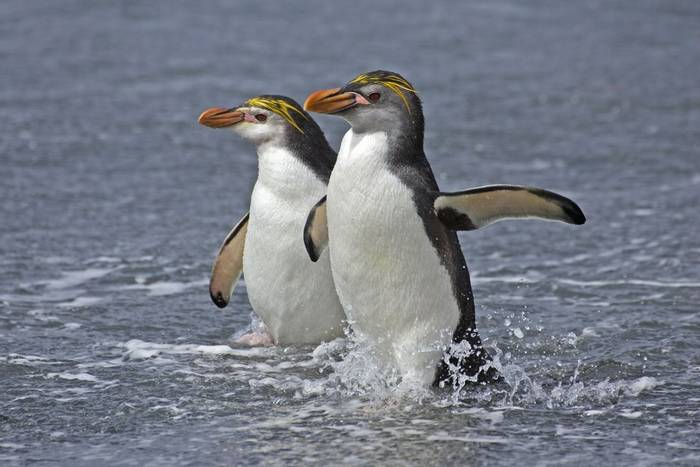 Royal Penguins, Macquarie Islands, Australia shutterstock_111279707.jpg
