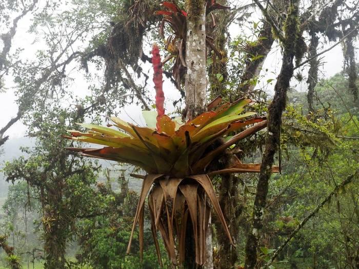 Bromeliad, Mindo, Ecuador