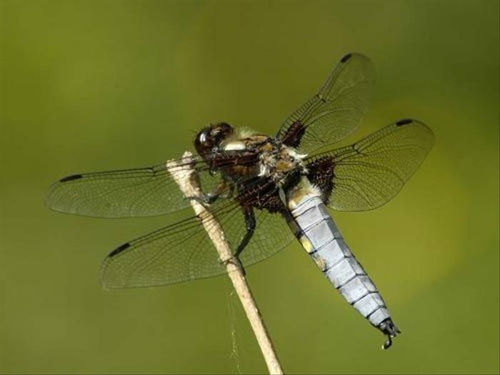 Broad-bodied Chaser (Matt Hobbs)