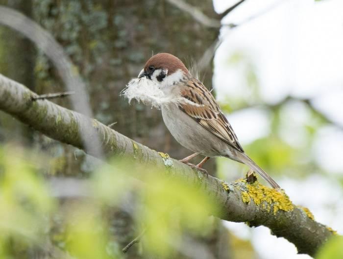 Tree Sparrow (Alexander Barclay)