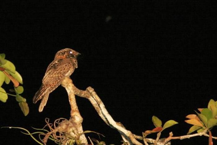 Yucatan Nightjar (Peter Dunn)