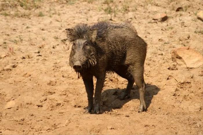 Wild Boar, Tadoba (Bret Charman)