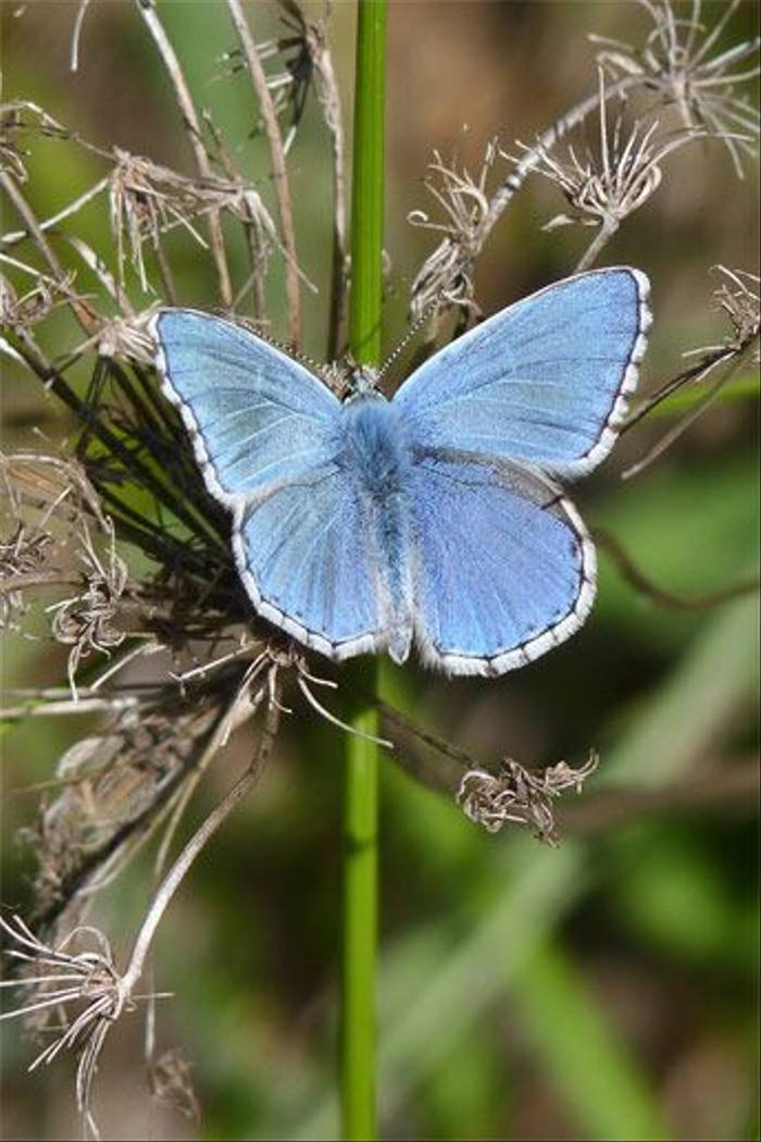 Adonis Blue butterfly (John and Jenny Willsher)