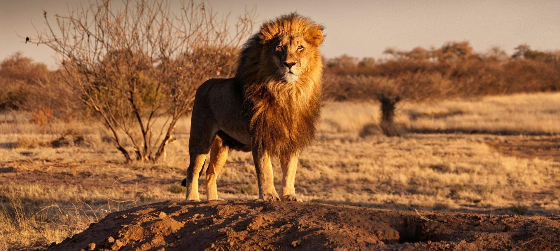Photography Tours  Lion, Kalahari, Botswana Shutterstock 547175677