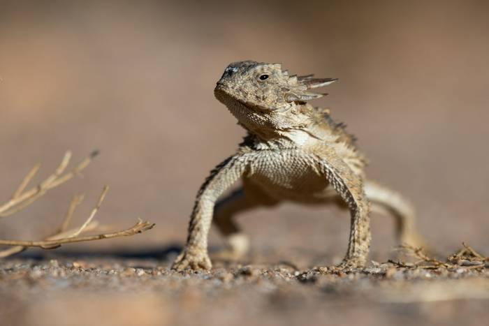 Horned Lizard (Phrynosoma solare)