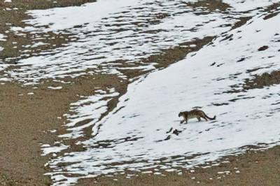 Snow Leopard by Russell Scott