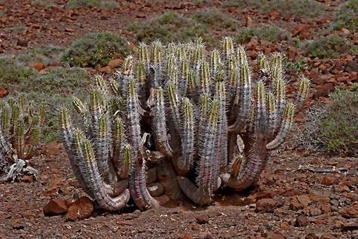 Euphorbia handiensis, Fuerteventura (Ken Bailey)