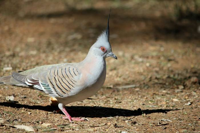Crested Pigeon, Australia shutterstock_256484746.jpg