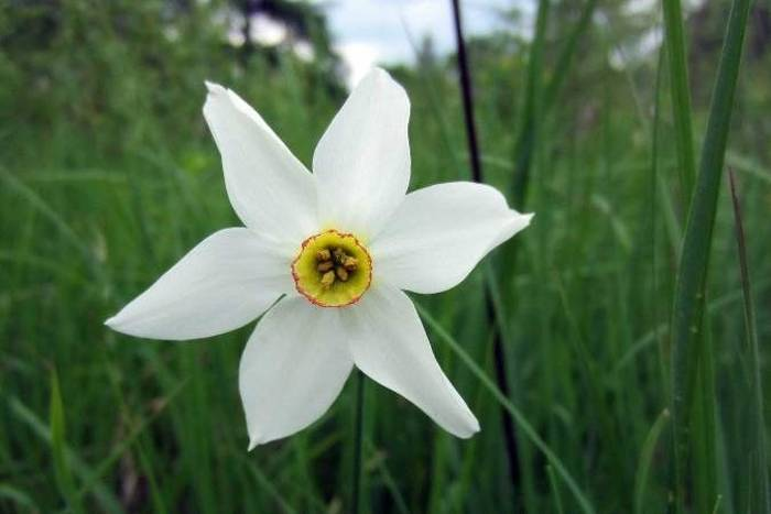 Narcissus Poeticus 2 (Rob Murray)