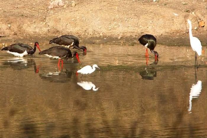 Black Storks, Little and Great Egrets (Raghu Kulkarni)