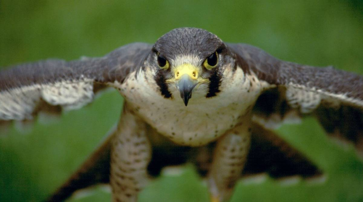 Wildlife - Peregrine Falcon - AdobeStock_3986109.jpeg