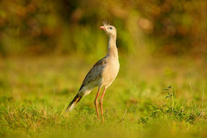 Red Legged Seriema Shutterstock 1011815029