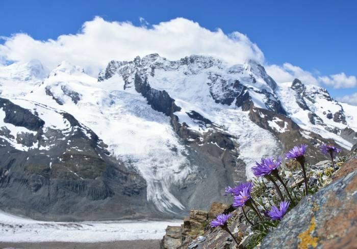 Alpine Aster (Aster alpinus)