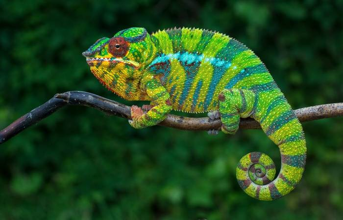 Panther Chameleon, Madagascar Shutterstock 661154716