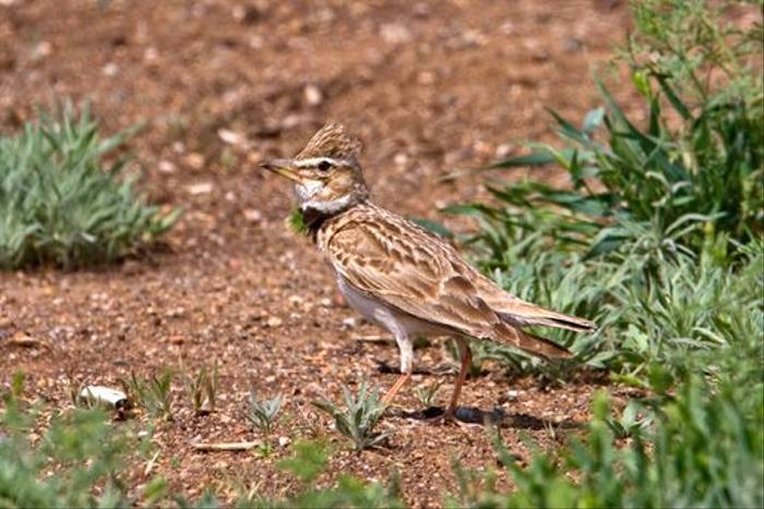 Bimaculated Lark (Alan Curry)