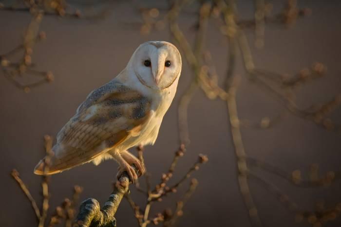 Barn Owl, norfolk, UK shutterstock_371233750.jpg