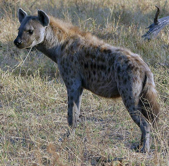 Spotted Hyena (John Perry)