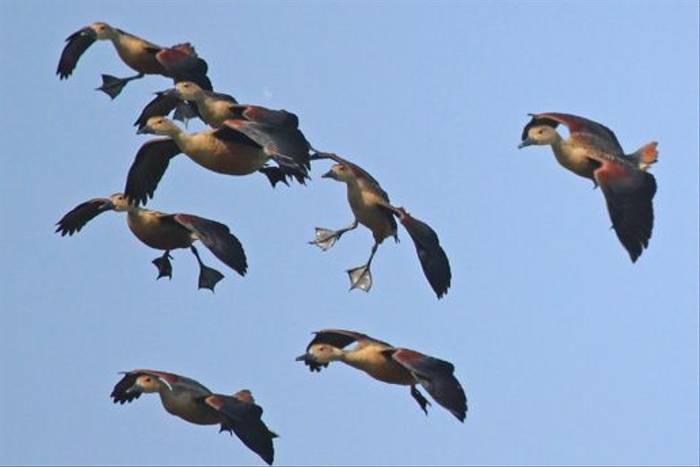Lesser Whistling Ducks (Janice Fiske)