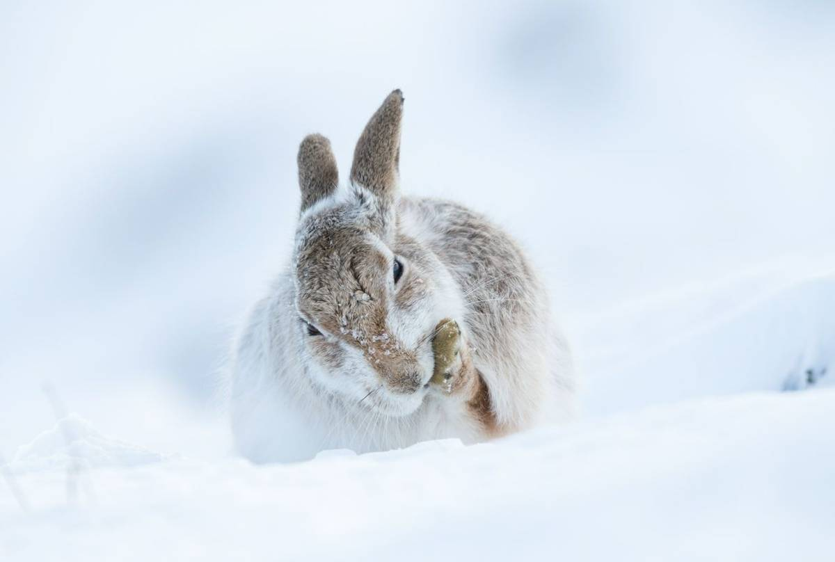 Mountain hare Lepus timidus, adult, cleaning front paw in snow, Findhorn Valley, Scotland in February.