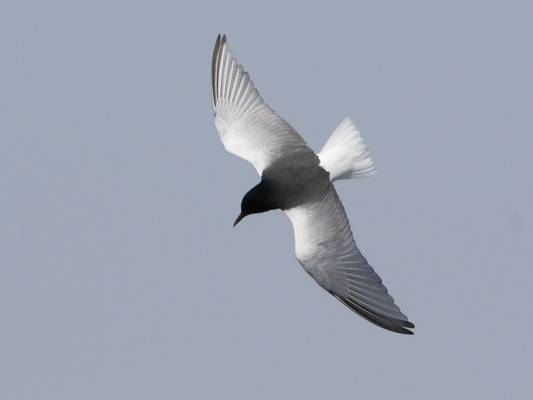 White-Winged Tern (Kevin Elsby)