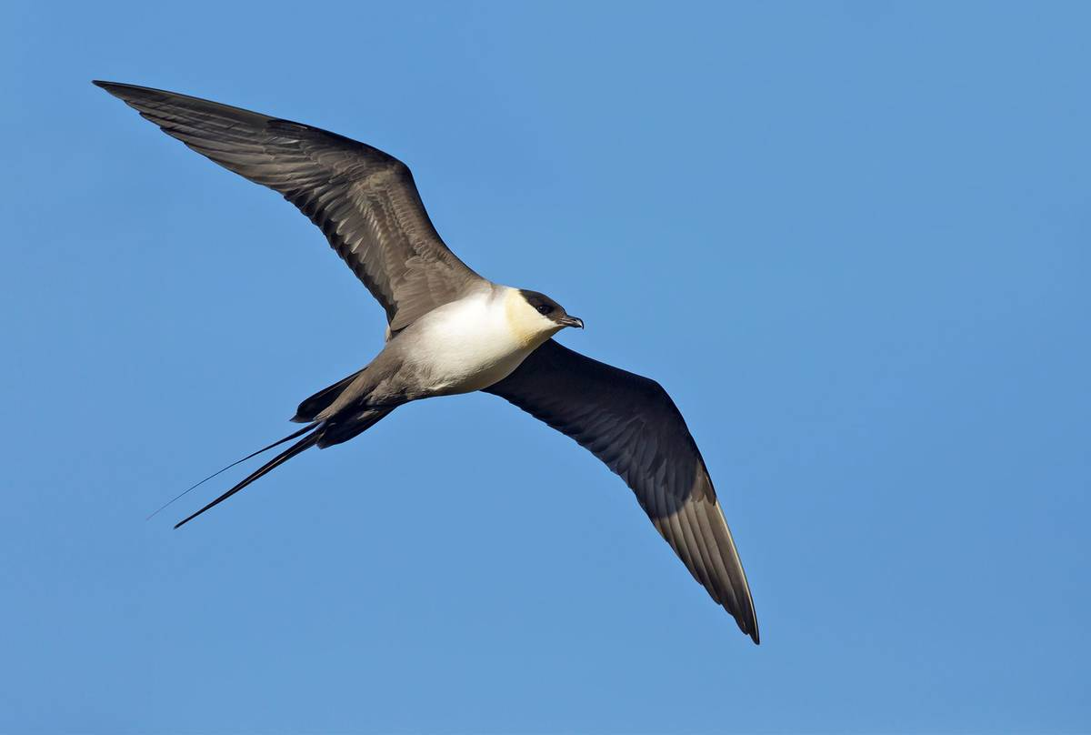 Long-tailed-Skua-shutterstock_1258474999.jpg