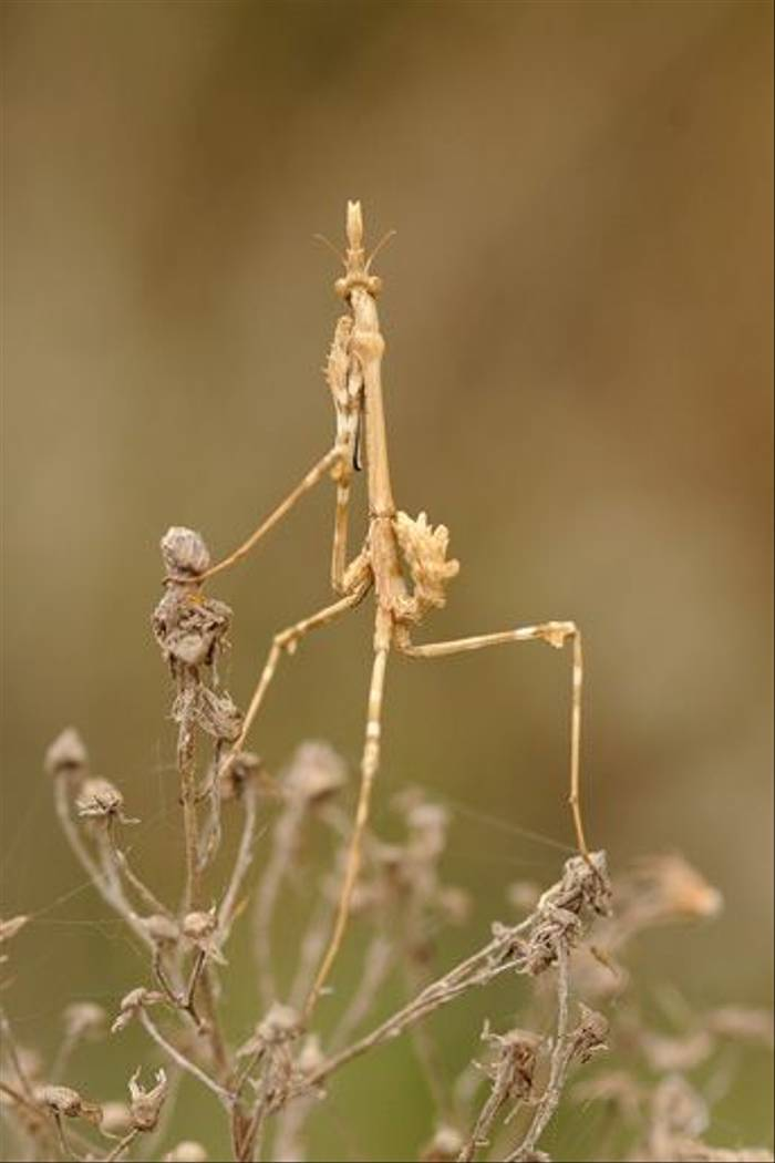 Mantid sp. (David Morris)