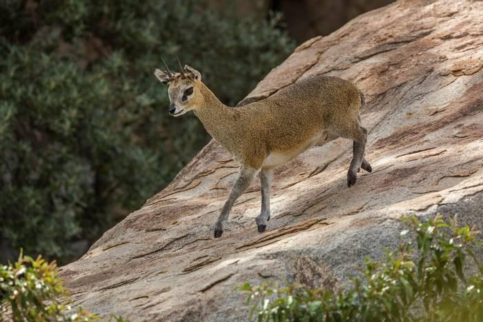 Klipspringer, Kruger, South Africa shutterstock_1554653162.jpg