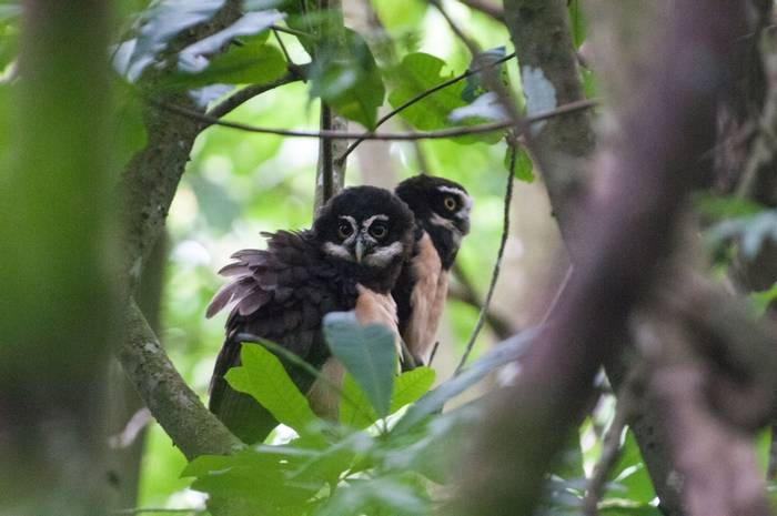 Spectacled Owls (Tarina Hill)