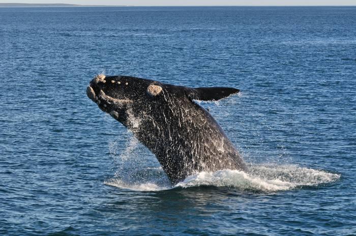 Right Whale shutterstock_166201097.jpg