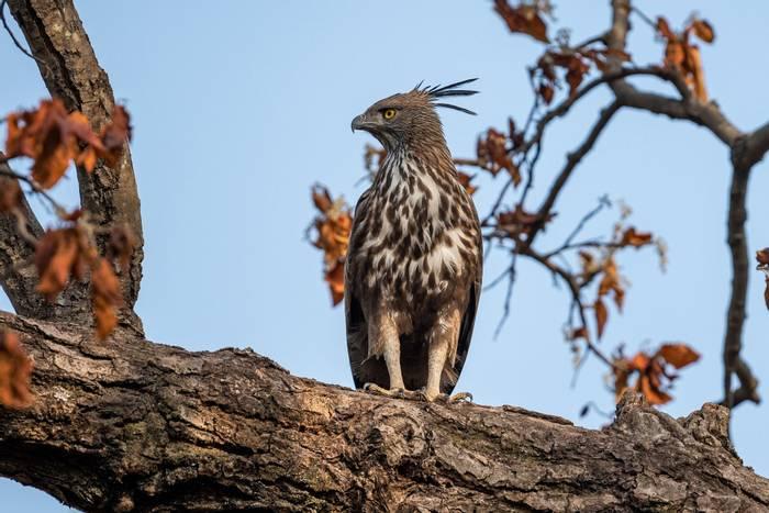 Changeable Hawk-eagle, Bandhavgarh National Park, India shutterstock_1468928564.jpg