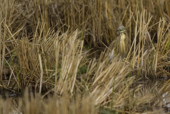 Squacco Heron (Javi Elorriaga)