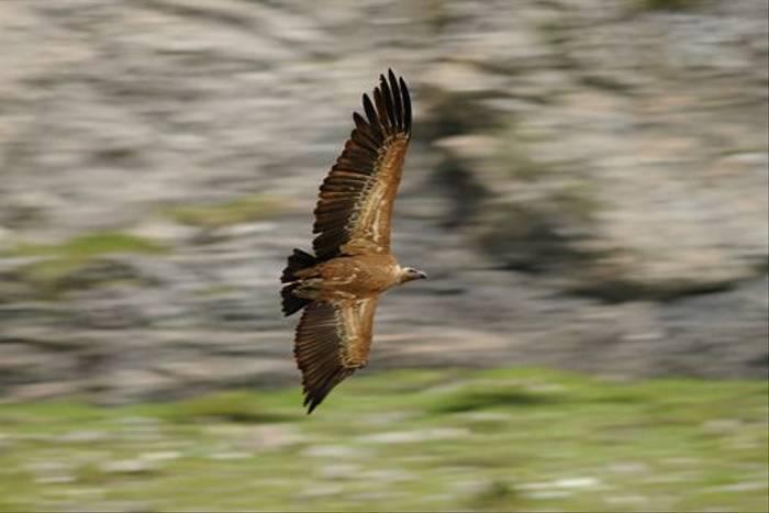 Griffon Vulture (David Morris)
