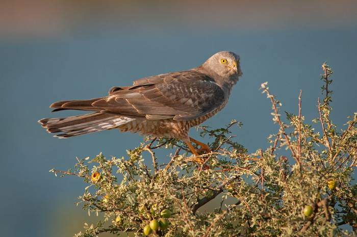 Cinereous Harrier (male)