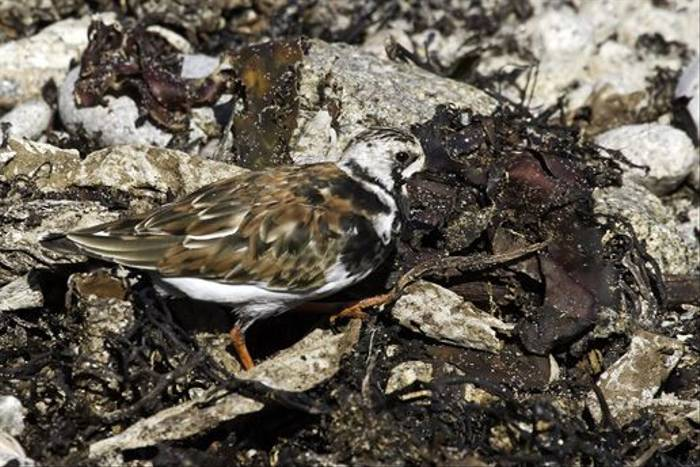 Turnstone (Colin Brown)