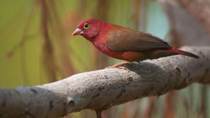 Red-billed Fire-finch (Paul Wilson)