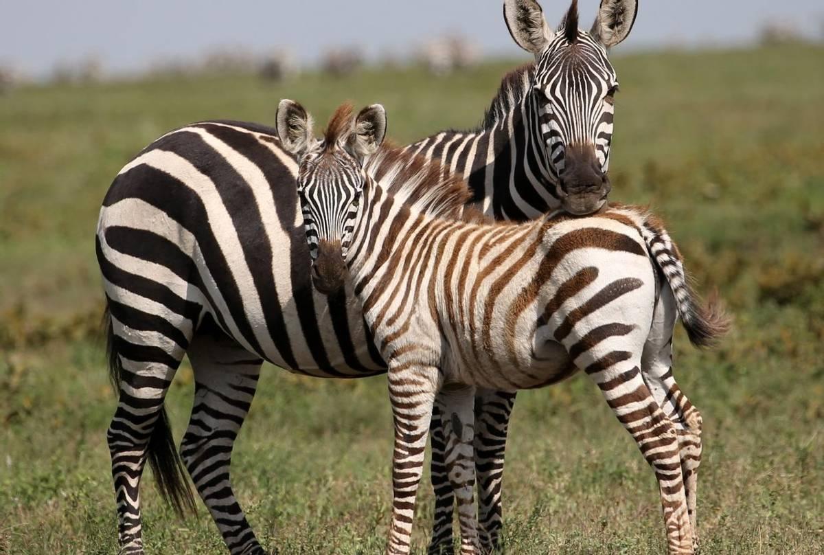 Zebras (Karen Malte Nielsen)