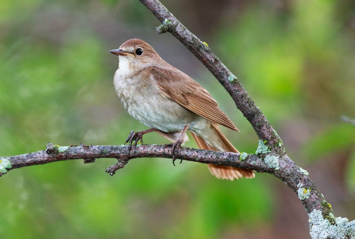 Thrush Nightingale.