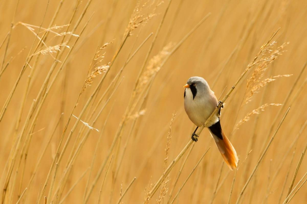 Bearded Reedling or Bearded Tit perched on reed stem