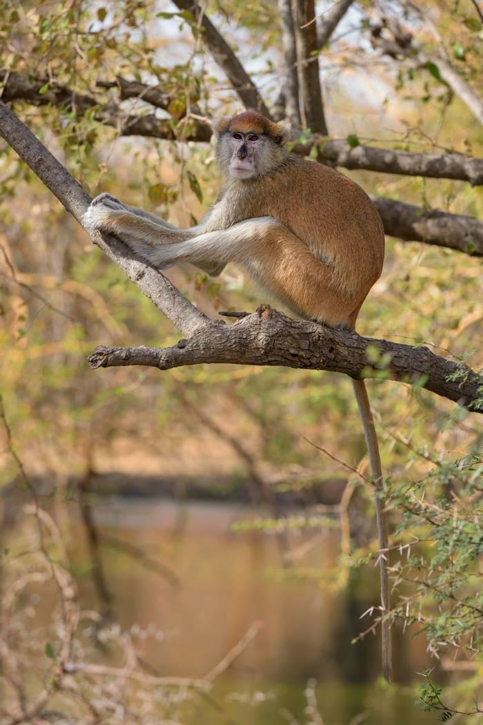 Patas Monkey, Senegal shutterstock_1484259674.jpg