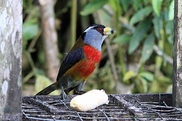 Toucan Barbet (Robert Davidson)