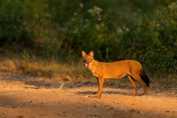 Dhole, India Shutterstock 370311407